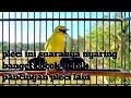 Pleci Ini Suaranya Nyaring Banget Cocok Untuk Pancingan Pleci Lain  Mp3 - Mp4 Download