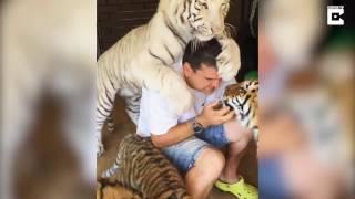 Этот удивительный мир: тигры в домашних условиях.