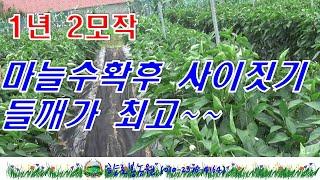 들깨심는시기-마늘수확후 사이짓기로 들깨재배가 최고~~