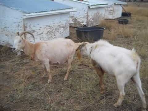 Goat Breeding Time 2017!