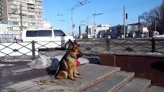 Дрессировка собак, идет обучение, а Куба и Фея идут в Мак 06 02 2016(Подписывайтесь на канал, смотрите новые видео о собаках :https://www.youtube.com/channel/UCS_ZBINqvQtyYPU79BTFP4w?view_as=public Сам ..., 2016-02-06T10:35:24.000Z)