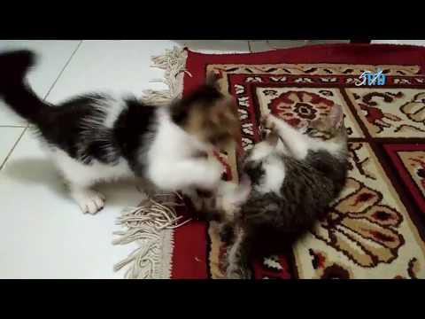 Anak kucing anggora blasteran kucing kampung lagi latihan gulat
