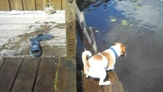 Мега ржачь! Funny dog Джек-рассел-терьер.