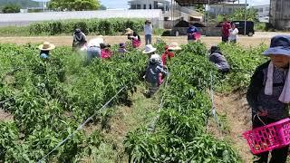 6月25日午前10時から八重山農林高校ライフスキル科圃場で「親子で夏野菜...