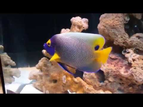 BLUE FACE ANGELFISH (Up Close And Personal)