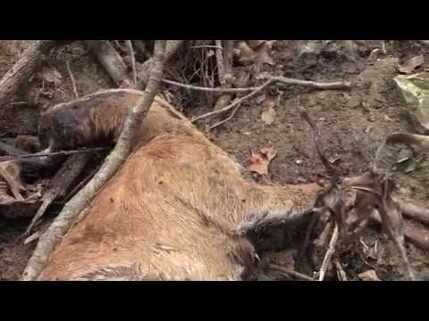 A Closer Look at EHD and CWD in Whitetail Deer