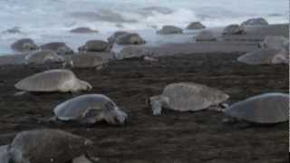 Arribada: Oliver Ridley Turtles at Playa Ostional Part I