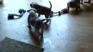 5 Week Old American Bulldog Puppies - Ohio Valley Bulldogs