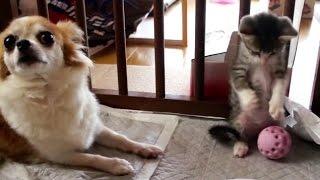 犬のオモチャ(アミーバーボールS)で遊ぶ子猫(おはぎ)です。 Subscri...