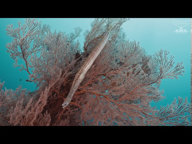Take a Minute XV: Trumpetfish (Aulostomus chinesis)