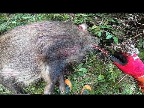 【閲覧注意】狩猟 猟犬とゆく猪猟  Part132 80kg雄