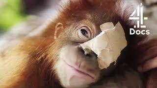 6MonthOld Orangutan Loses Sight After Tree Fall | Orangutan Jungle School