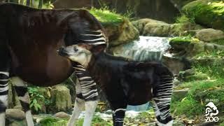 Маленький окапи - интересное, удивительное животное