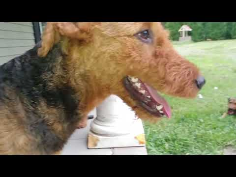 Sitting On The Front Porch With My Airedales On   June 20, 2018