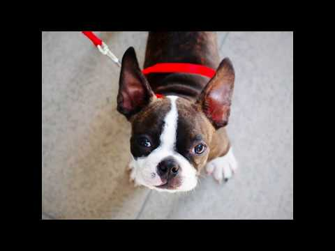 ***How to House Train your Boston Terrier Puppy?**FREE Mini Course * WOW***