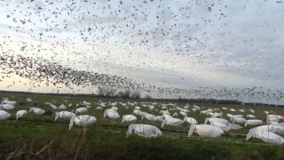 march 3 goose hunt 2012.mov