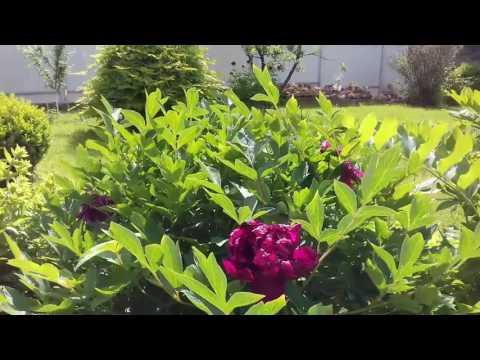 Жасмин садовый, чубушник в дизайне сада