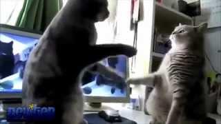 Fandub español - Dansons la capucine