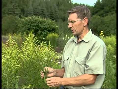 Лекарственные травы.Золотарник обыкновенный