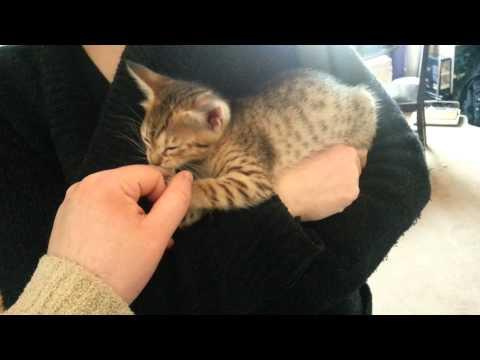 Tawny Ocicat Kitten Having Cuddles