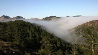 UC SANTA BARBARA -- Pine forest microbes need 'fog drip' to thrive
