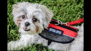 Emotional Support Animals at college 9/18/2018