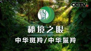 《秘境之眼》 中华斑羚/中华鬣羚 20200806| CCTV
