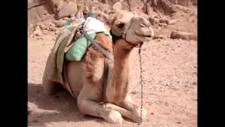 Я - Верблюд.