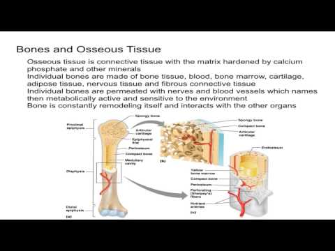 Bone and Osseous Tissue Introduction