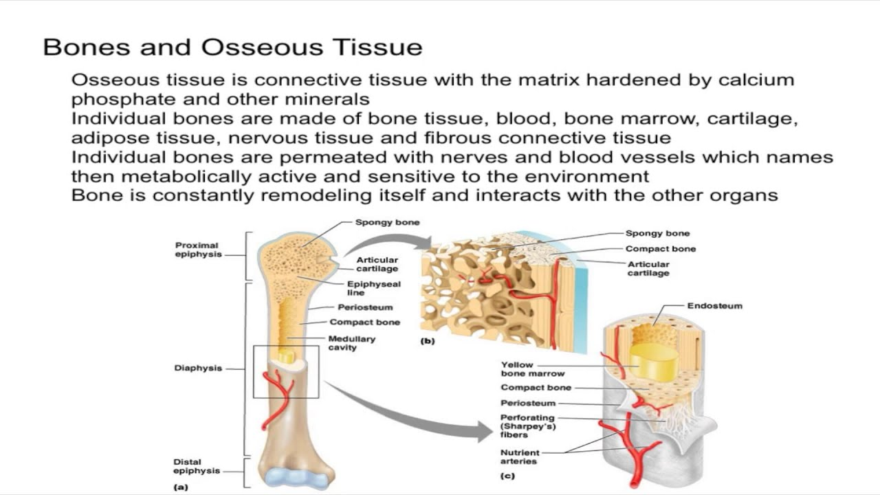 Bone and Osseous Tissue Introduction - YouTube