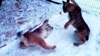 АГРЕССИВНАЯ ВСТРЕЧА РЫСЕЙ. Выгул больших кошек. Ханна и ревнивая собака