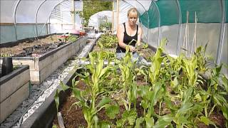 How To Grow Sweet Corn, Courgettes/Zucchini And Beans (The Three Sisters)