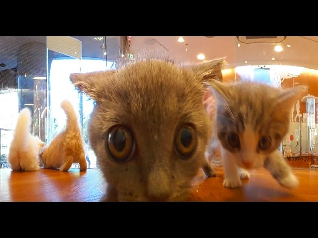 Caramel Kitten Cam Videos