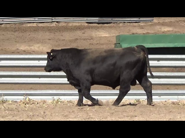 Connealy Angus Lot 136
