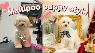 Are you a doll?   Maltipoo puppy dog grooming