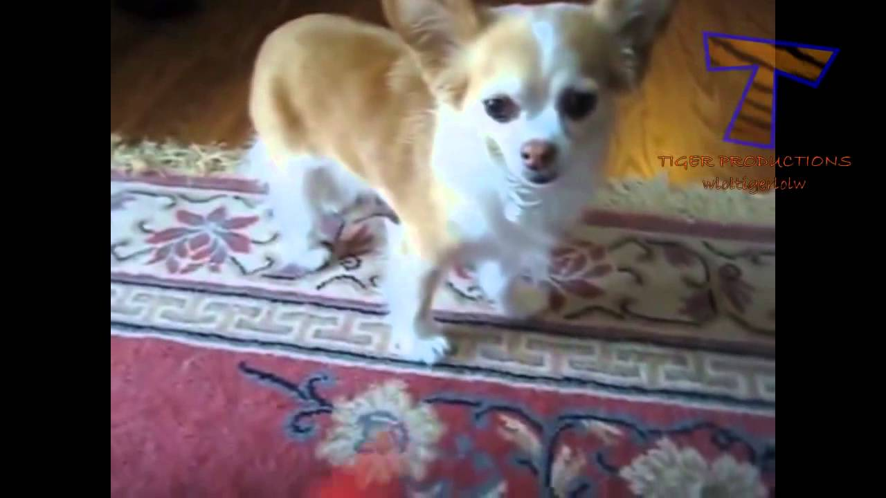 ashamed and guilty dogs funny and cute dog compilation