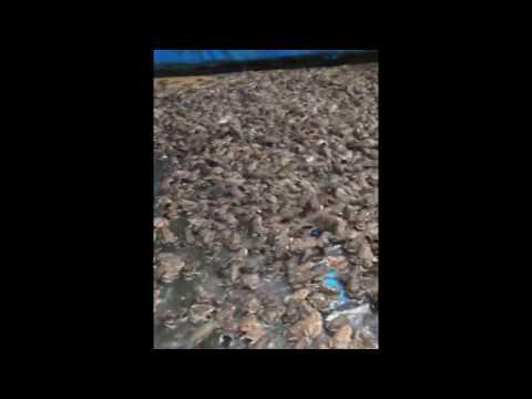 Nuôi ếch sạch trên bạt ít hao hụt con giống, tiết kiệm thức ăn