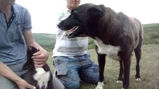 Siyah ve ala çoban kopekleri