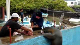 Sea lions: And their love for fish. - hungry sea lions