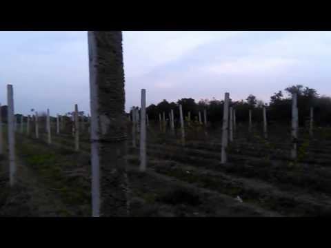 How do you grow grapes.? 03459442750 Zain Ali farming in Pakistan