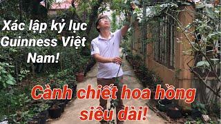 Cành chiết hoa hồng Xác lập kỷ lục Guinness Việt Nam siêu dài   S Garden