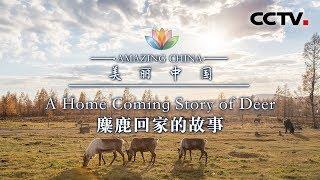 《美丽中国》 麋鹿回家的故事 | CCTV