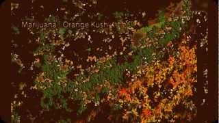 Binaural Beats - Orange Kush - Marijuana High |THC Beat|