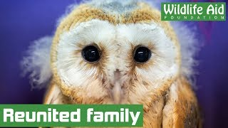 Baby barn owl reunited with family!