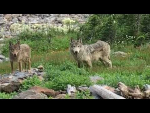 UNREAL WOLF Encounter!!! 10 Yards No Gun! -Limitless 16