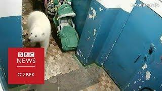Оқ айиқлар боис фавқулодда вазият - BBC Uzbek