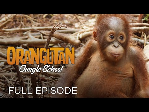 Orangutan Jungle School: Movin' on Up (Full Episode)