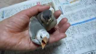 桜文鳥と白文鳥のヒナのエサやりの様子です。