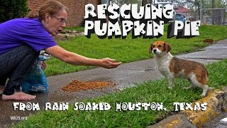 Gambar cover Rescue of 5 Month Old Puppy From Rain Soaked Houston, Texas - Please Share Pumpkin Pie's Story!