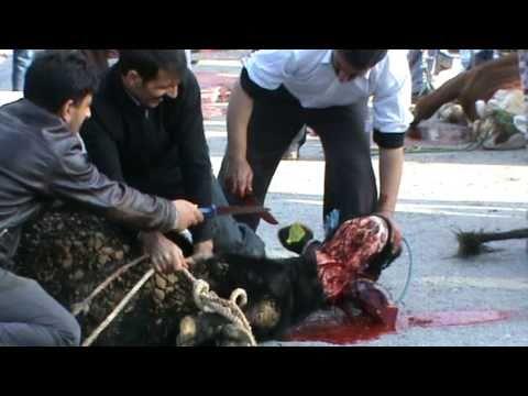 Kurban Kesimi KKB Taurus women who fear being cut. slaughtering. festival of sacrifices
